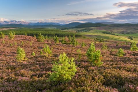 Paarse heuvels - Cairngorms National Park, Schotland