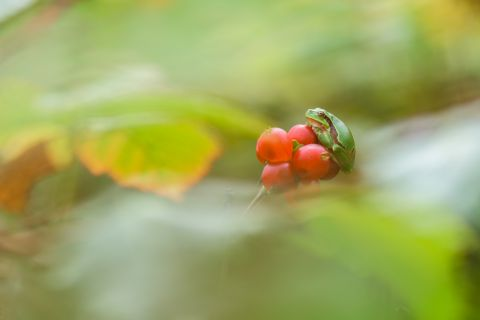 Tree frog on red berries