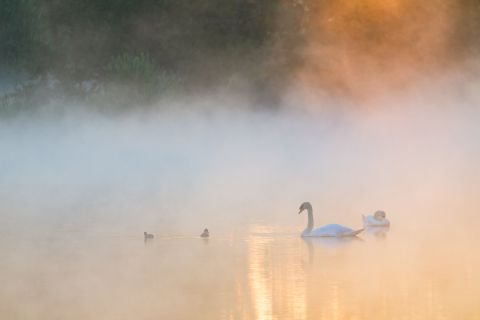 Family of Mute swan